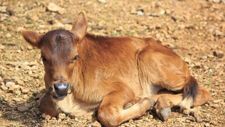 portrait baby cow  Stock Photo - 17396747
