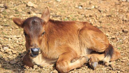 portrait baby cow Stock Photo - 17396747