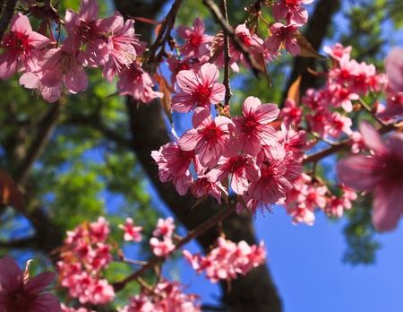 Cherry blossoms against blue sky  Stock Photo