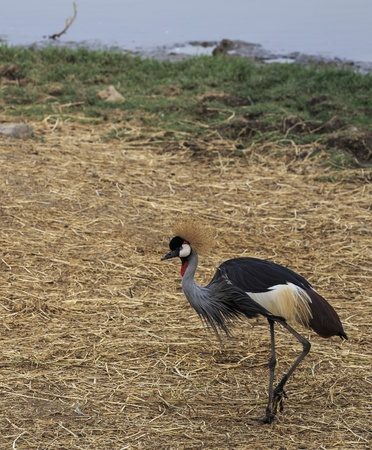 Big Bird CROWNED CRANE  Balearica regulorum   photo