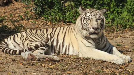 relict: white Tiger  Stock Photo
