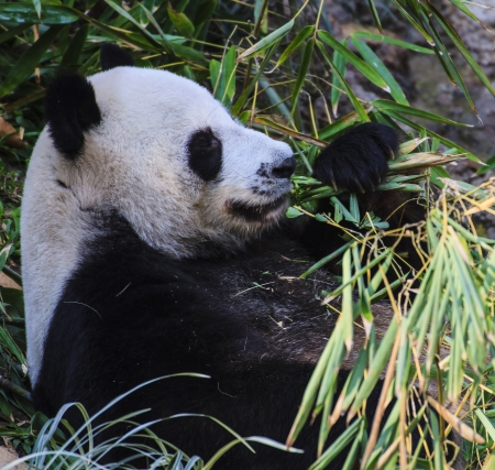 Panda enjoys eating bamboo  photo