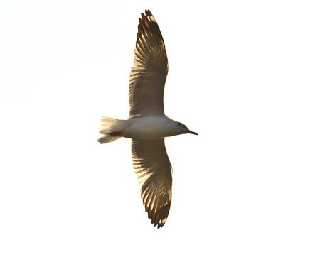 seagull bird flying over sunset Stock Photo - 17964067