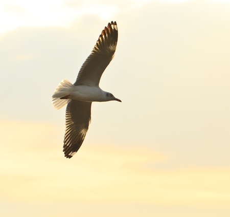 seagull bird flying over sunset Stock Photo - 17964069