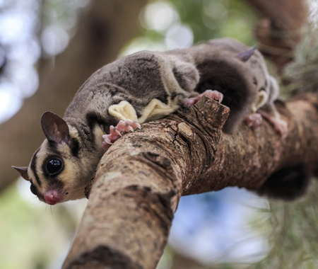 sugar glider climb on the tree photo