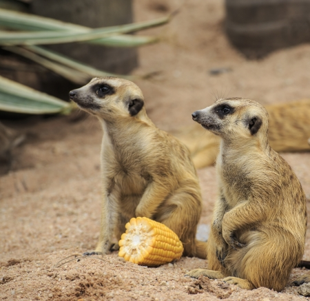young meerkats photo