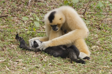 Blanco Cheeked Gibbon familia photo