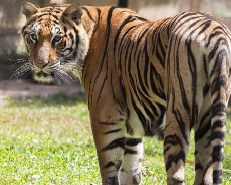 虎 版權商用圖片