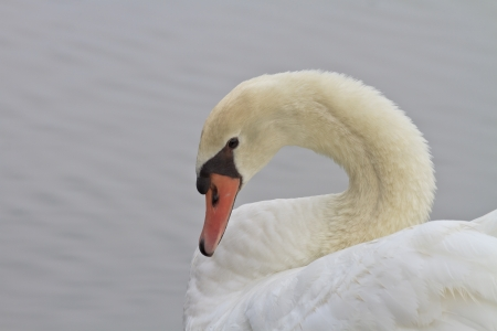 Beautiful White Swan Swimming Stock Photo - 18235745