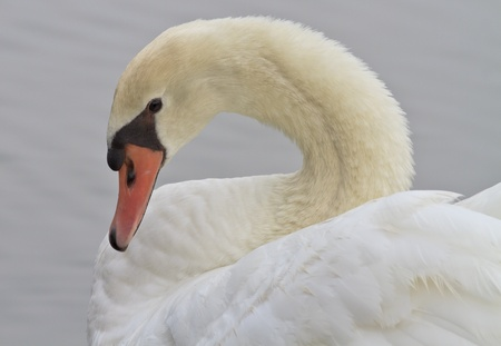 Beautiful White Swan Swimming  Stock Photo - 18246294