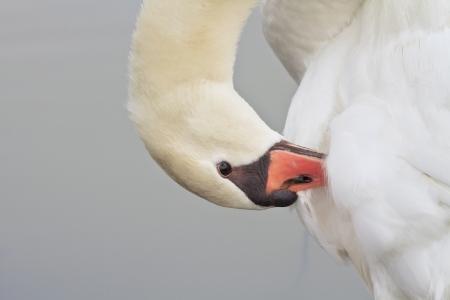 Beautiful White Swan Swimming Stock Photo - 18235736