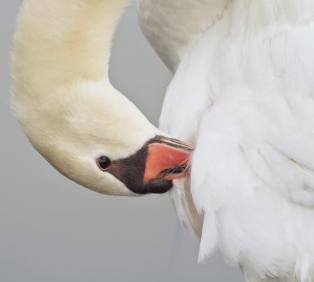 Beautiful White Swan Swimming Stock Photo - 18235787