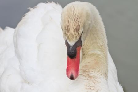Beautiful White Swan Swimming Stock Photo - 18235785
