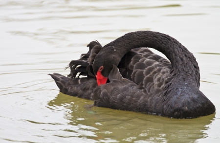Beautiful black Swan Swimming Stock Photo - 18235687