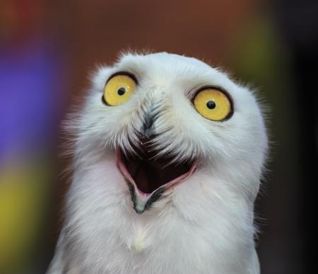 Snowy Owl Reklamní fotografie