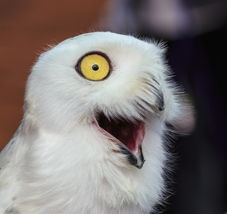 lordly: Snowy Owl Stock Photo