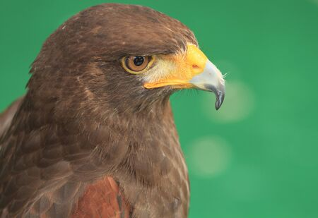 Bird of Prey - Harris hawk photo