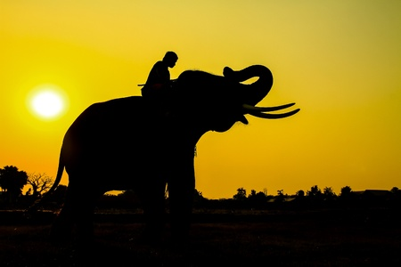 silhouette action of elephant in Ayutthaya Province, thailand  photo