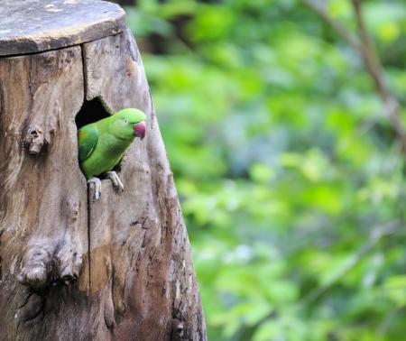 eclectus: Beautiful green eclectus parrot bird