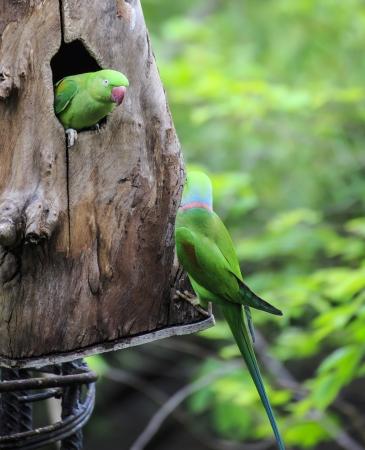 eclectus parrot: Beautiful green eclectus parrot bird