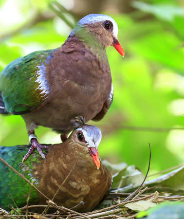 Emerald Dove Green-winged Pigeon  bird  photo