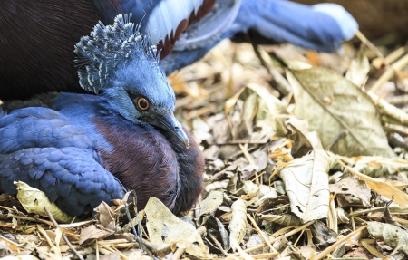 Victoria Crowned Pigeon photo