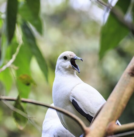 pied: pied imperial pigeon bird  Stock Photo