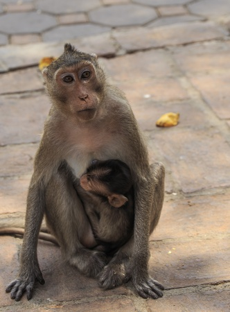 mother and Baby long-tailed macaque monkey Stock Photo