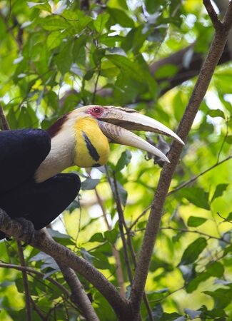 strikingly: wreathed hornbill bird Stock Photo