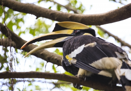 strikingly: great hornbill bird Stock Photo