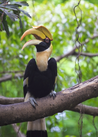 great hornbill bird photo