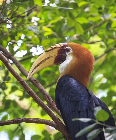 s horn: Blyth s Horn bill bird