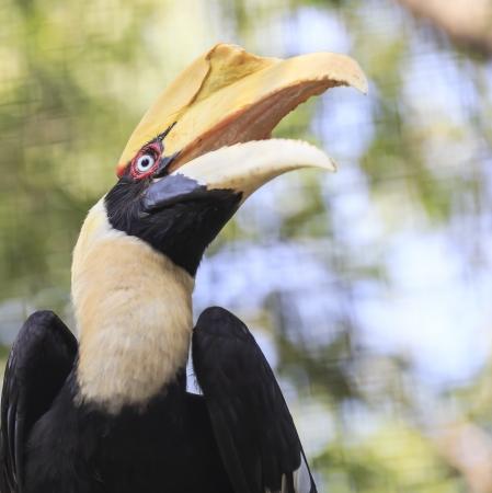 strikingly: great hornbill bird Stock Photo