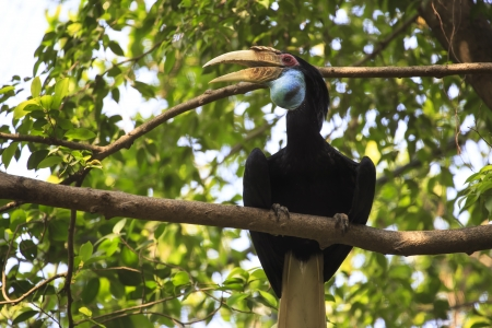 wreathed hornbill bird photo