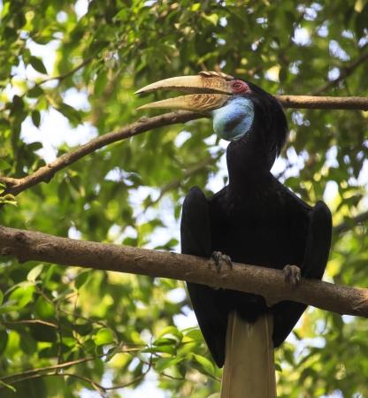 wreathed Horn bill bird photo