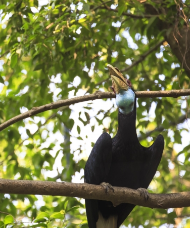 wreathed hornbill bird photo
