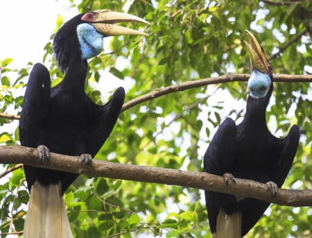 strikingly: wreathed hornbill bird