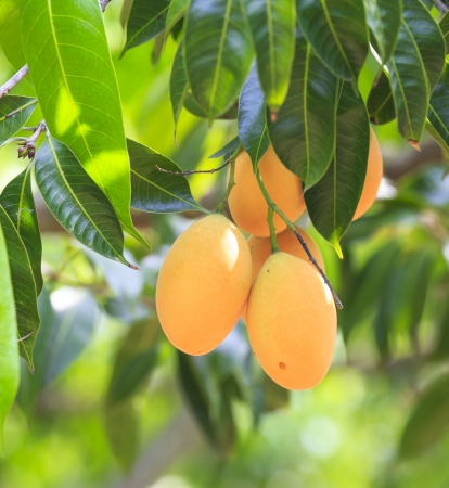 Maprang ,Marian Plum and Plum Mango thailand  Stock Photo
