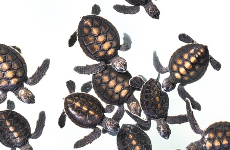 Little baby Sea turtles in nursery, Thailand  photo