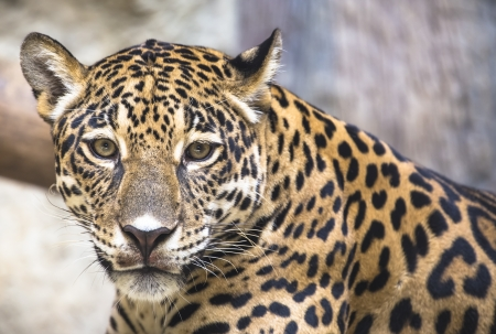 close up of a large Jaguar photo