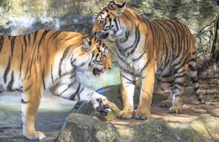 Closeup of a tiger  版權商用圖片