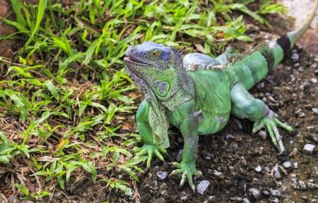 Iguana on a grass photo
