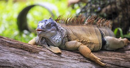 Iguana on a branch   photo