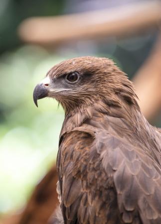 Closeup Black Kite  Milvus migrans   photo