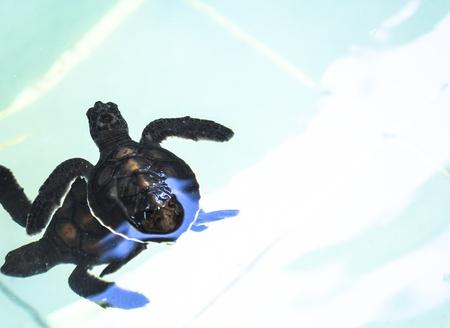 Little baby Sea turtles in nursery, Thailand