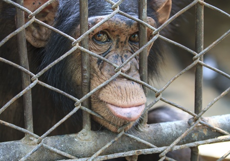 chimpanzee at a Cage photo