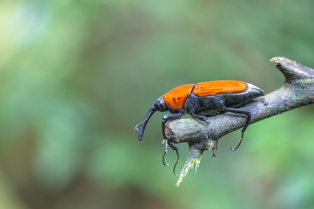 macro weevil insects In tropical forests thailand  Stock Photo