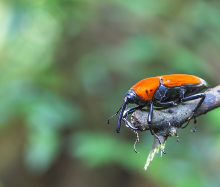 macro weevil insects In tropical forests thailand  photo