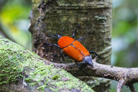 weevil: macro weevil insects In tropical forests thailand  Stock Photo