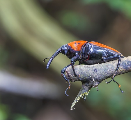 horny: macro weevil insects In tropical forests thailand  Stock Photo
